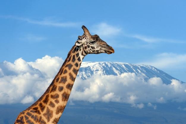 Жираф на горе килиманджаро в национальном парке кении Бесплатные Фотографии