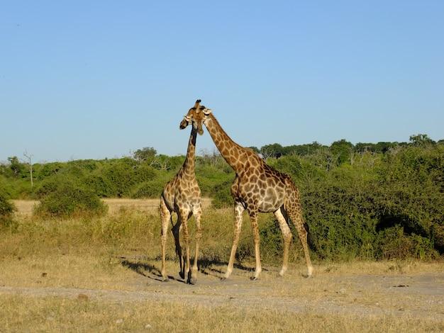 チョベ国立公園、ボツワナ、アフリカのサファリでキリン Premium写真