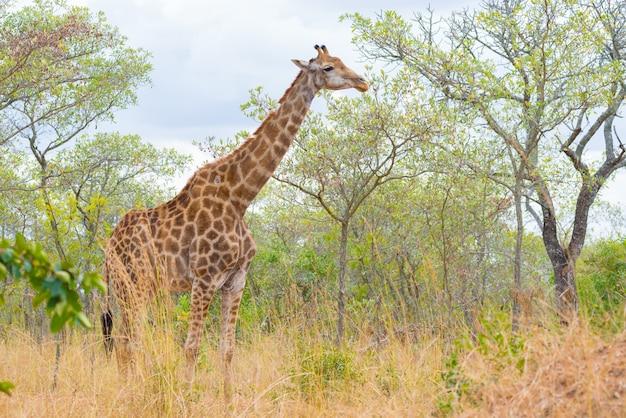 Giraffe profile in the bush, close up and portrait Premium Photo