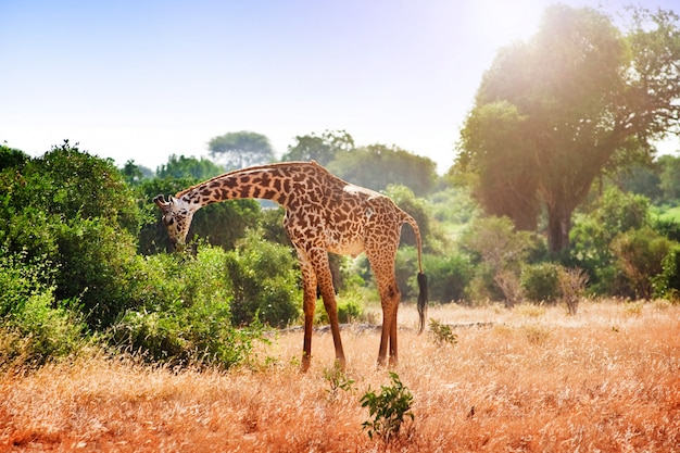 Giraffe in the savanna Premium Photo