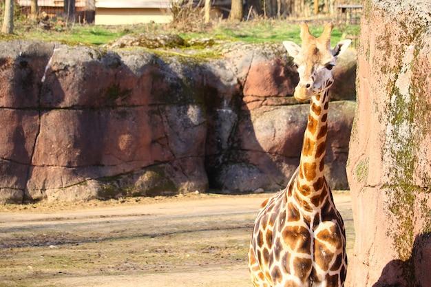 Giraffa in piedi nel parco circondato da erba Foto Gratuite