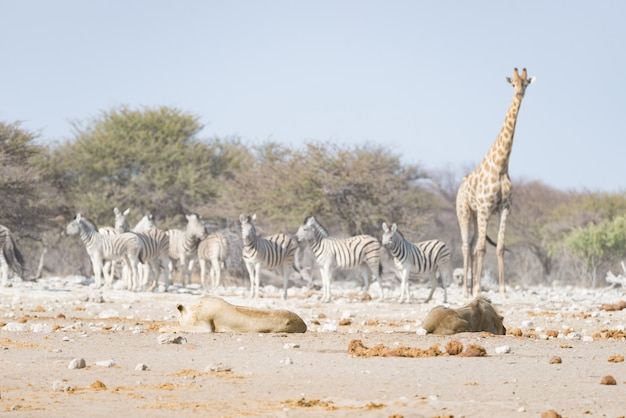 Giraffe walking near lions lying down on the ground. wildlife safari in the etosha national park. Premium Photo