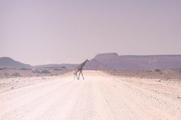 道を歩いているキリン 無料写真