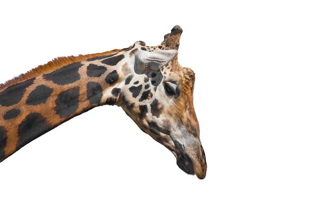 Giraffe on white isolated background Premium Photo