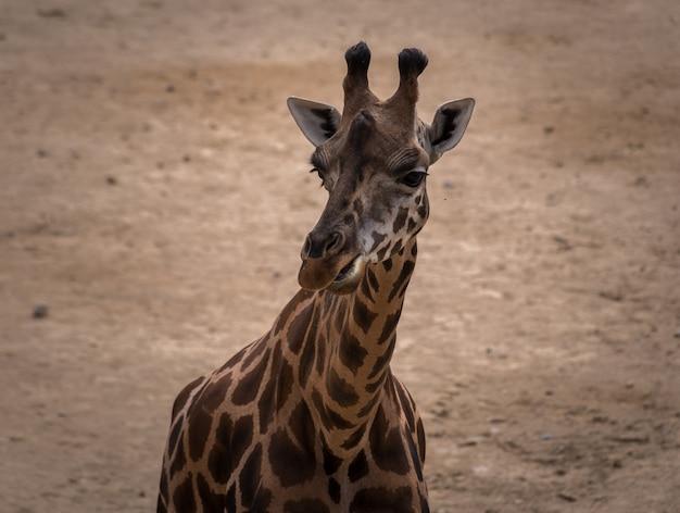 The giraffe Premium Photo