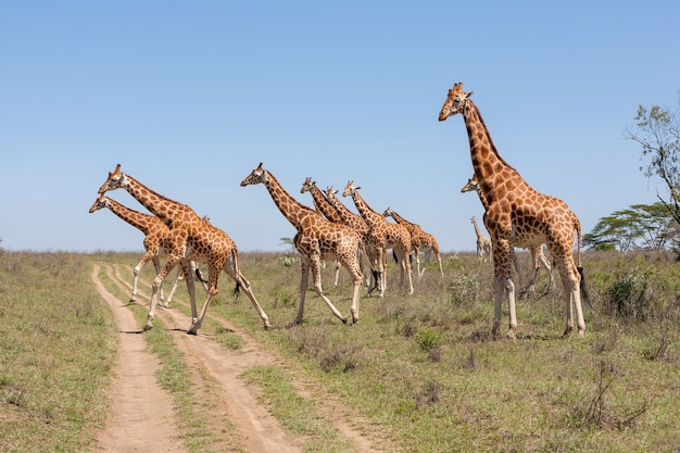 Giraffes herd in savannah Free Photo