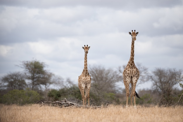 Giraffes walking on the bush with a cloudy sky Free Photo
