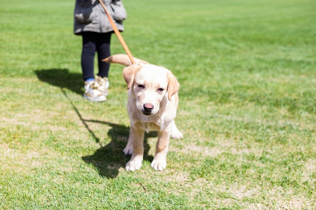 Girl holding a small labrador puppy on a leash Premium Photo