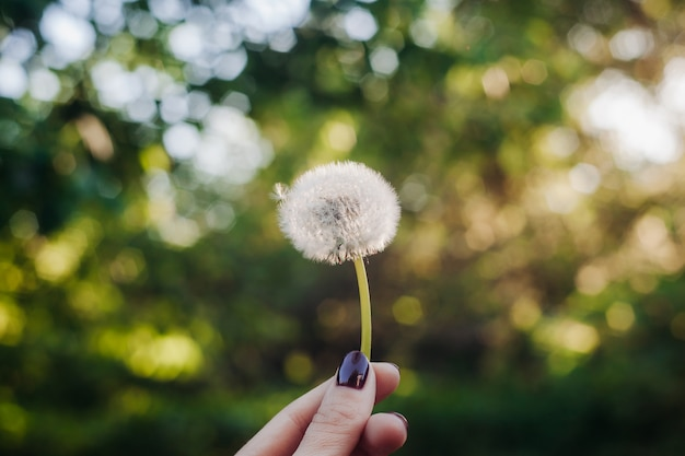 The girl holds a dandelion. Premium Photo