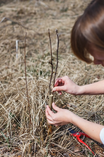 A girl makes a wild apple graft in early spring Premium Photo