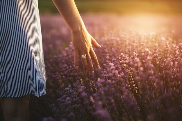 A girl's hand while touching lavender peaks at sunset. Premium Photo