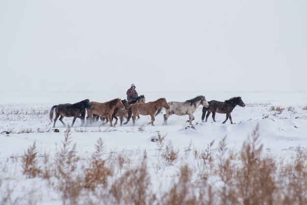 Girl shepherd sitting on horse and shepherding herd of sheep in prairie with snow-capped mountains on background Premium Photo