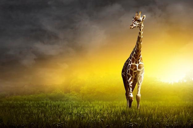 Girrafe standing on the grassland Premium Photo