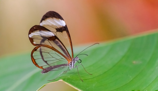 Glasswing butterfly on leaf Premium Photo