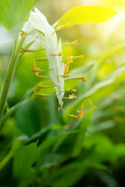 Globba or white dragon flower photo premium download globba or white dragon flower premium photo mightylinksfo