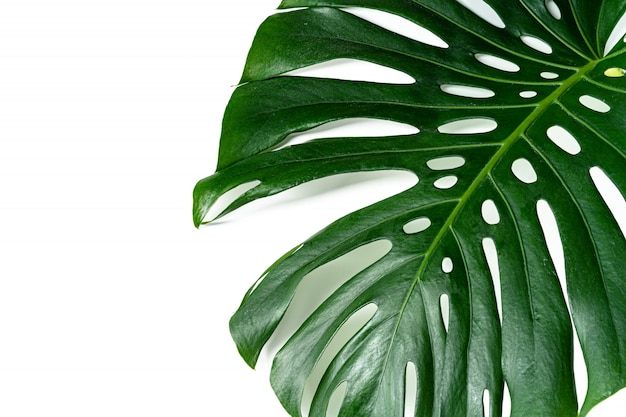 Glossy monstera leaf close up isolated on white background. creative photo Premium Photo