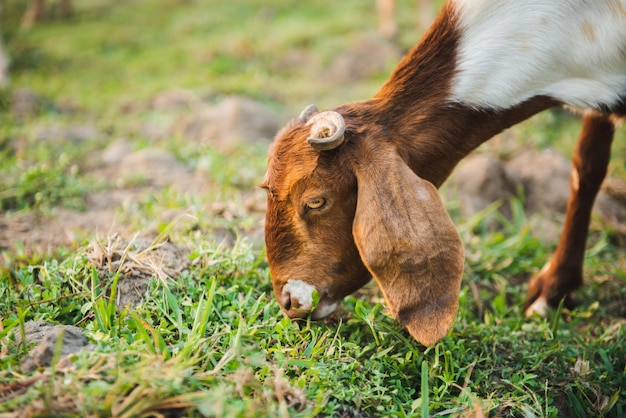 Коза ест траву на зеленом лугу Premium Фотографии