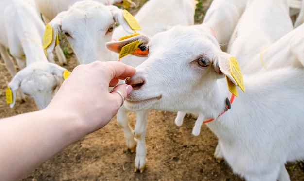 ヤギ牧場。田舎の家畜と繁殖動物。牛乳と肉の飼育 Premium写真