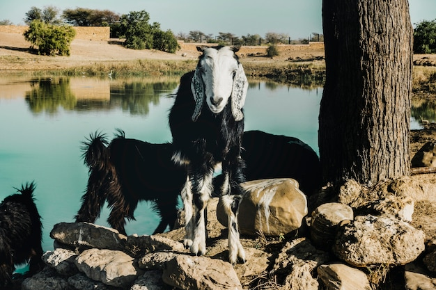 Goat farming in rajasthan, india Premium Photo