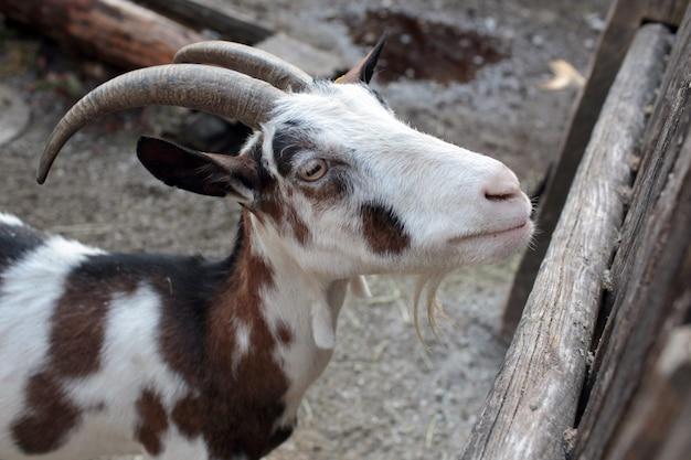 木製の柵の近くの農場のヤギ 無料写真