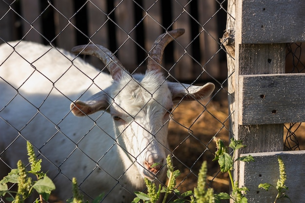 Goat inside fence with gate at farm Free Photo