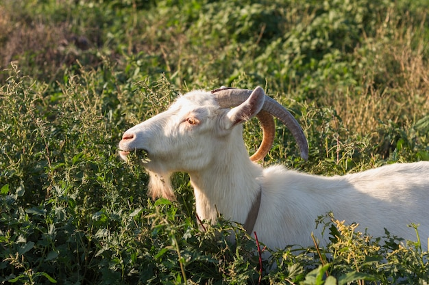 Goat in nature eating grass Free Photo