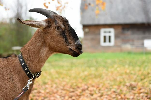 Коза нубийской породы стоит возле дома в деревне Premium Фотографии
