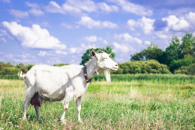 Goat on a pasture in the afternoon in the field Premium Photo