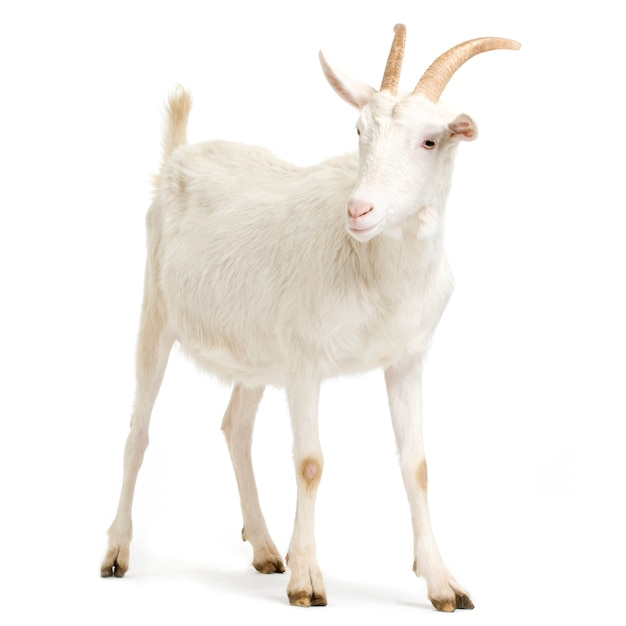 Goat standing up isolated on a white background Premium Photo