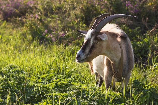 自然の中で大きな角を持つヤギ 無料写真