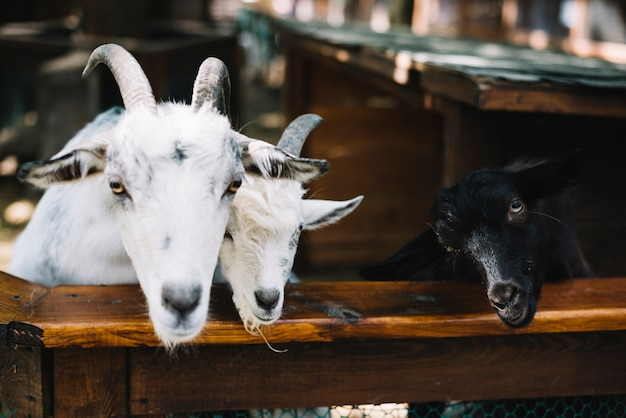 Goats in the barn Free Photo
