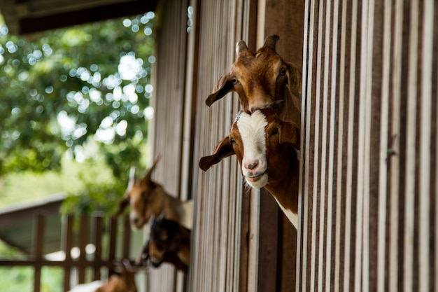 Goats in the farm in thailand Premium Photo