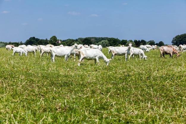 Goats Premium Photo