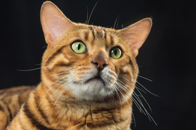 The gold bengal cat on black space Free Photo
