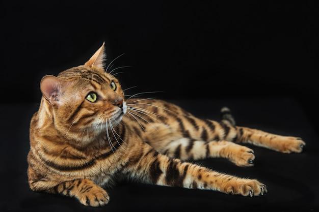 Gold bengal cat on black Free Photo