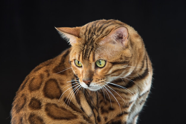 The gold bengal cat Free Photo