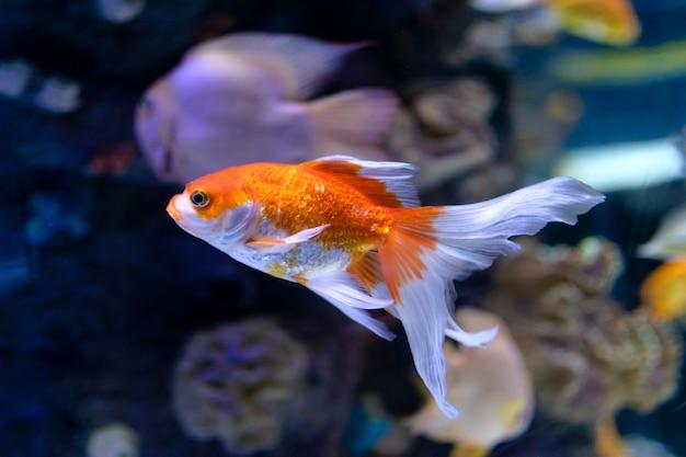 Gold fish Premium Photo