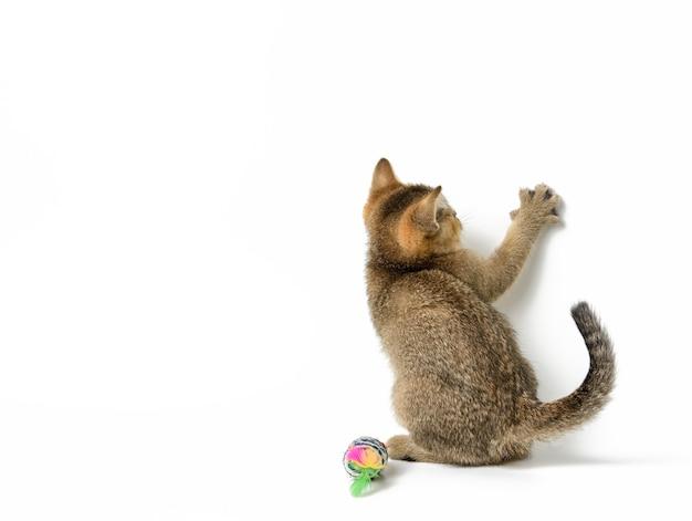 Золотой тикированный котенок британской шиншиллы прямо сидит на белом фоне, подняв переднюю лапу вверх, скопируйте пространство Premium Фотографии