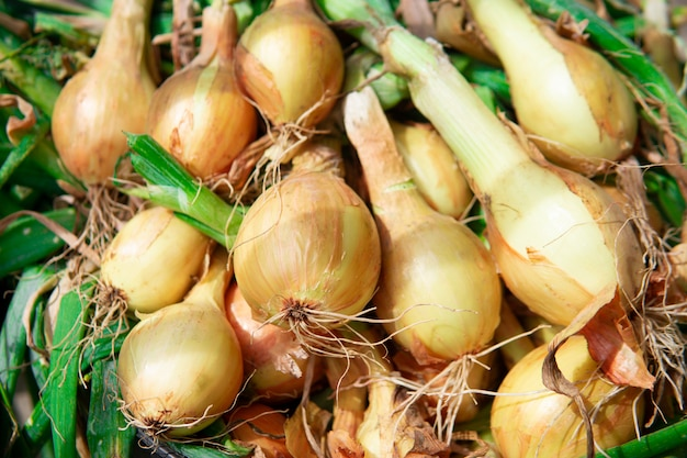 Golden bulb onion close-up. organic products. freshly collected from the ground Premium Photo