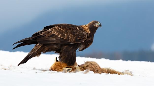 冬の自然の中で雪の上に立っているイヌワシ Premium写真