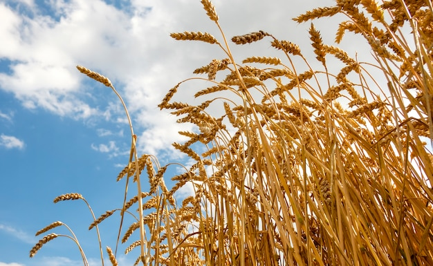 Golden ear of wheat growing in field Premium Photo