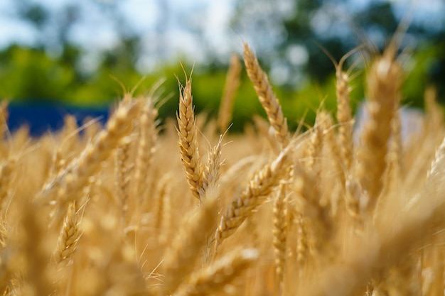 Golden ears of wheat in the field Premium Photo
