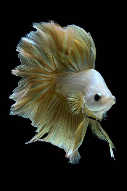 Золотая боевая рыба. Premium Фотографии