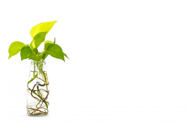 Golden pothos leaves with root in reuse glass bottle on white background Premium Photo