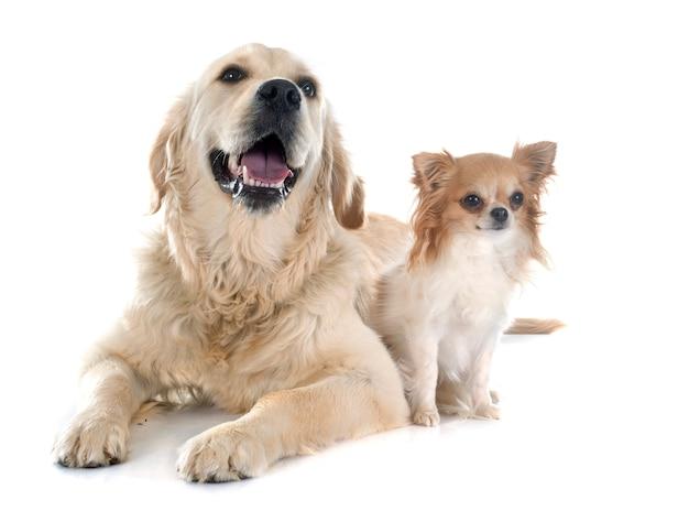 Golden retriever and chihuahua Premium Photo