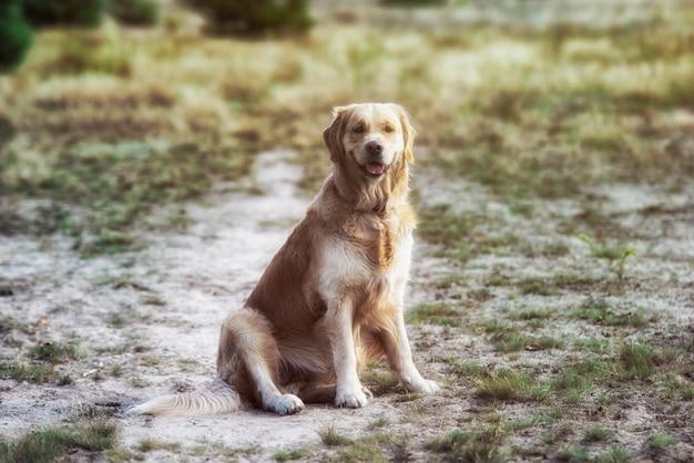 Golden retriever dog lies on the grass Premium Photo