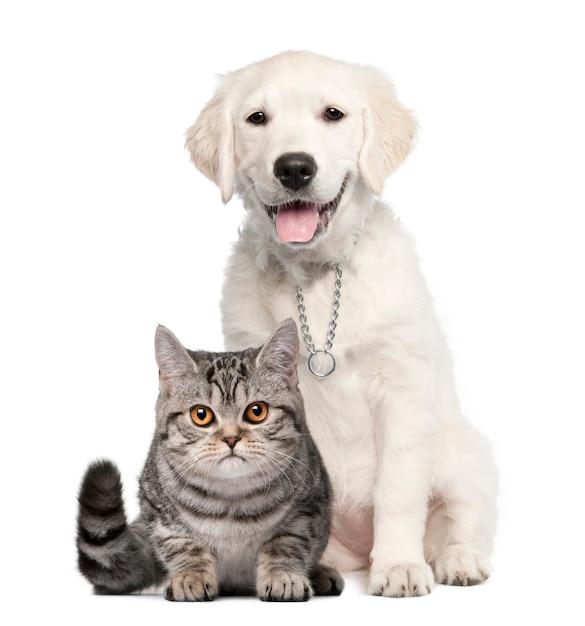 Golden retriever puppy sitting next to a british shorthair Premium Photo