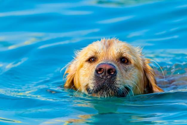 Golden retriever swimming Premium Photo