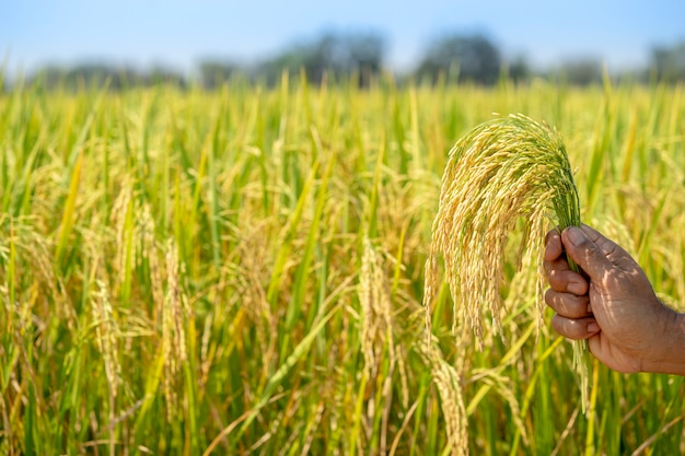 Golden rice, beautiful in the hands of farmers. Premium Photo