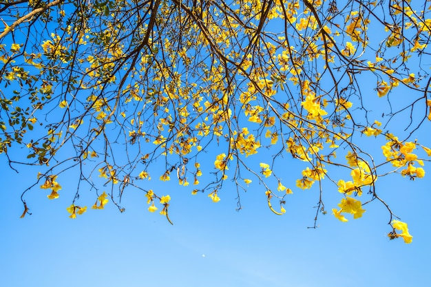 Golden trumpet tree at park in on blue sky background. Premium Photo